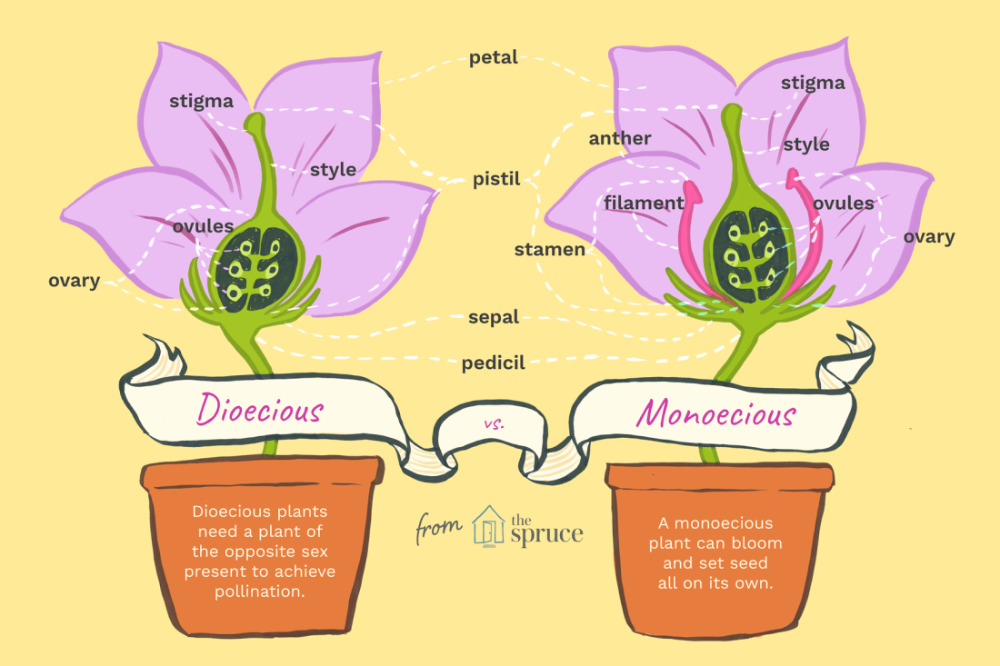 Dioecious vs Monoecious